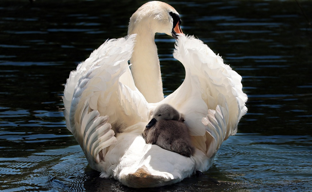 swan-2350668_1920